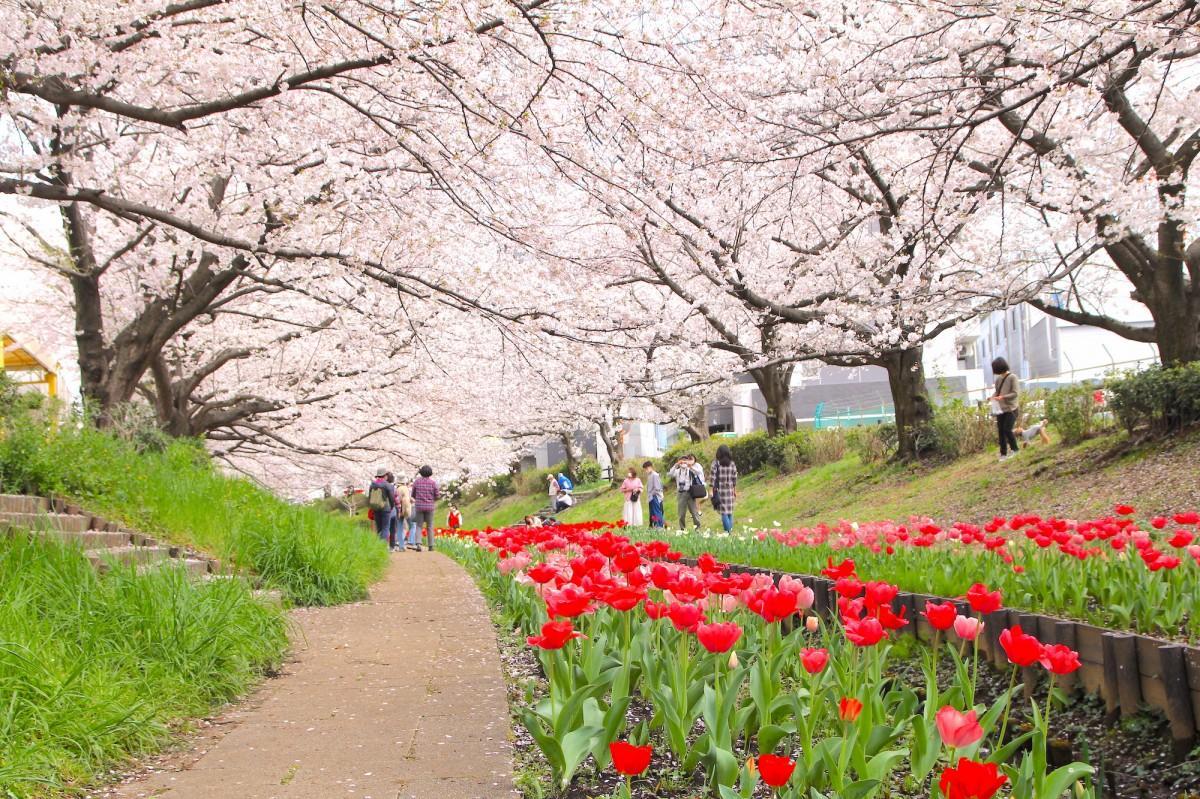 満開の桜と開花したチューリップ