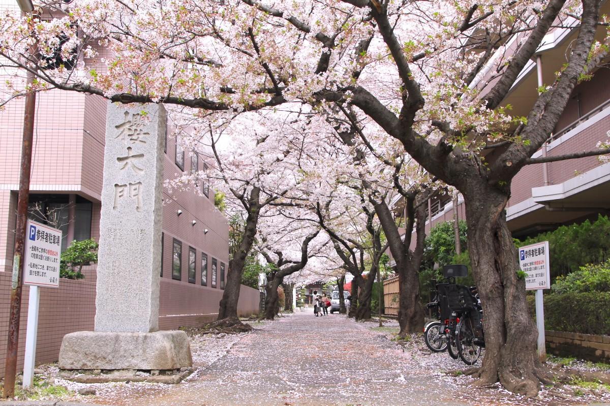 金蔵寺の「桜大門」(3月30日撮影)