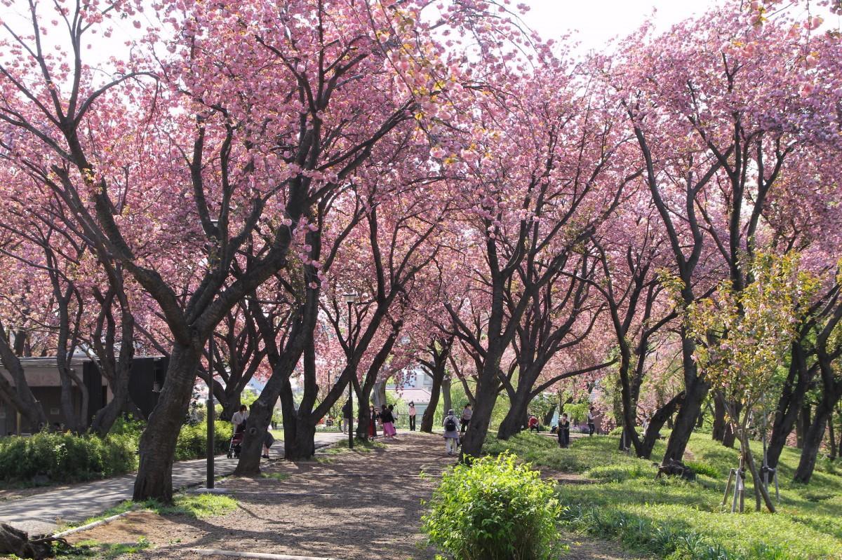 八重桜が満開の菊名桜山公園