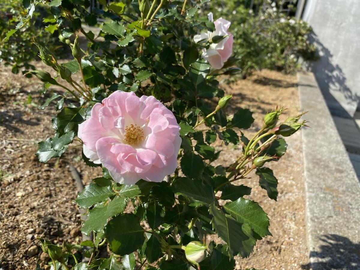 淡いピンクの花を咲かせる「ローザ・つづきく」