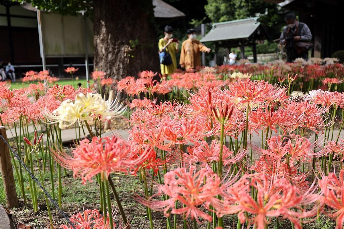 境内に咲く彼岸花(ヒガンバナ)。撮影=加藤恵三