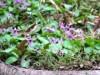 四季の森公園で「春の妖精」 カタクリの花が見頃