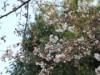 都筑・山田富士公園で恒例の「さくら祭り」開催へ 桜はもうすぐ見頃