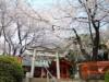 都筑・淡島社、社殿覆うほどの桜が満開