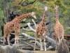 ズーラシアで「世界キリンの日」特別イベント キリン舎バックヤードツアーも
