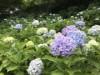 センター南・都筑中央公園のアジサイが開花 見ごろまであと少し