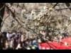 200本の梅楽しむ大倉山公園の観梅会、今年も開催へ