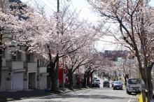 青葉台・桜楽坂の桜がもうすぐ満開 「さくらまつり」は中止