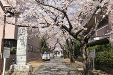 日吉本町・金蔵寺の「桜の門」が見頃 満開まであと少し