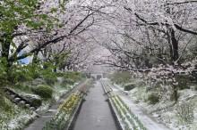 都筑・江川せせらぎ緑道の桜が見頃も雪化粧