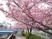 江東・大横川沿いの河津桜が見頃 濃いピンク色に染まる