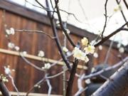 亀戸「船橋屋」の梅が見頃 改装後植樹し初開花