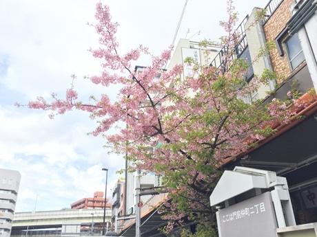 門前仲町交差点の河津桜が最盛期 「東京マラソン」に花添える