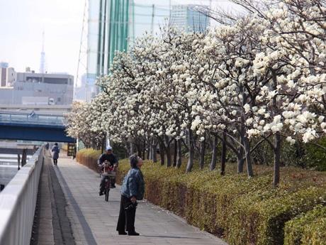江東でハクモクレン335本に白い花 来週いっぱい見頃