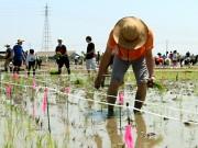 行田で世界最大規模の「田んぼアート」田植え作業 古代の神話をテーマに