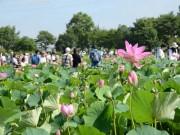 行田・古代蓮の里で「蓮まつり」 42種類12万株のハスが開花見頃