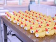 熊谷の星川でラバーダックレース 300羽が速さ競い合い、上位には賞品も