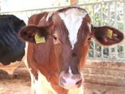 東松山の牧場直売所で希少種「ガンジー牛」販売へ 特徴ある肉に注目度高く