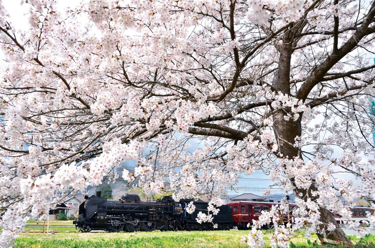 桜の中を走り抜けるSLパレオエクスプレス