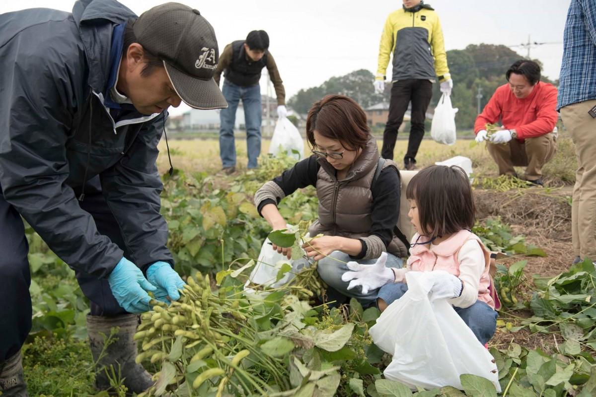 茶豆を収穫する参加者(前回の様子)