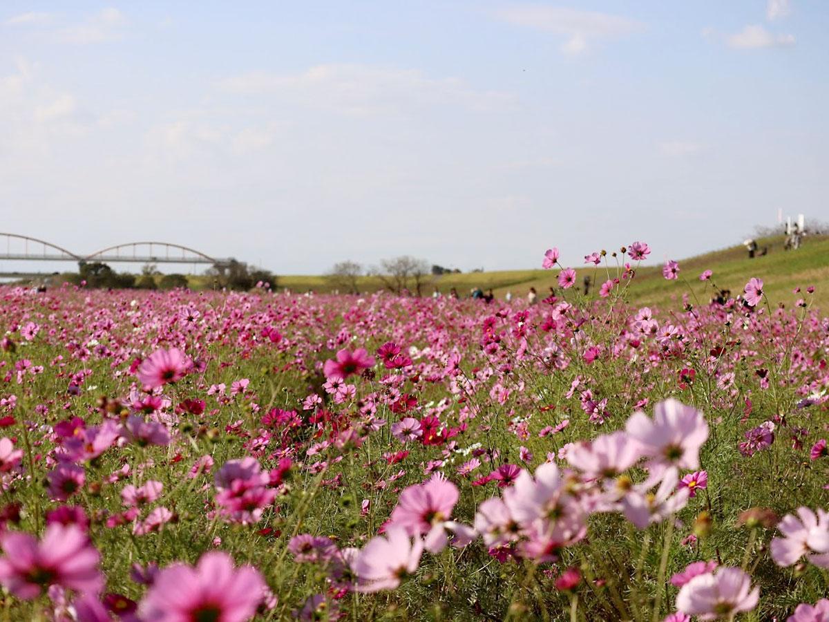 一面見頃を迎えた花畑の様子(10月26日現在)