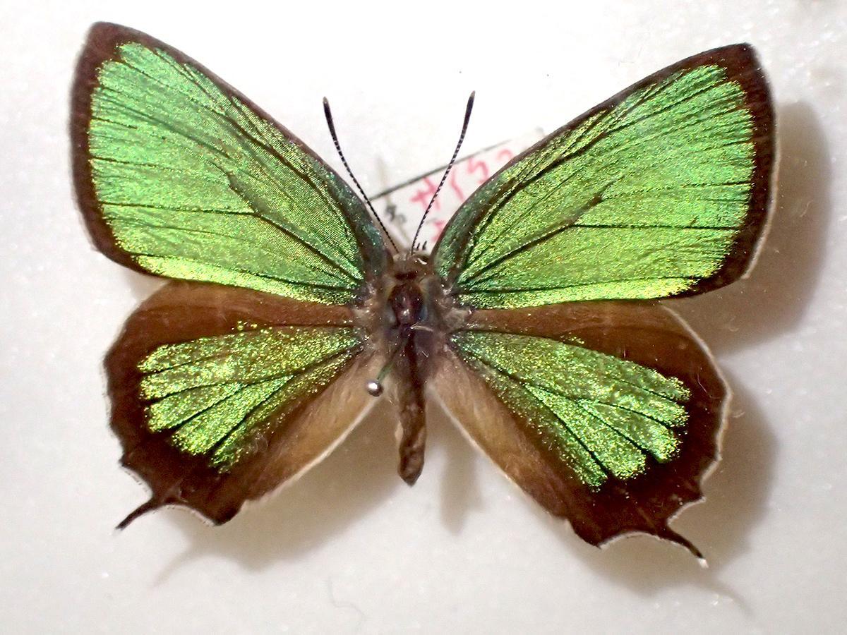 緑色に輝く県のチョウ「ミドリシジミ」(画像提供=埼玉昆虫談話会)