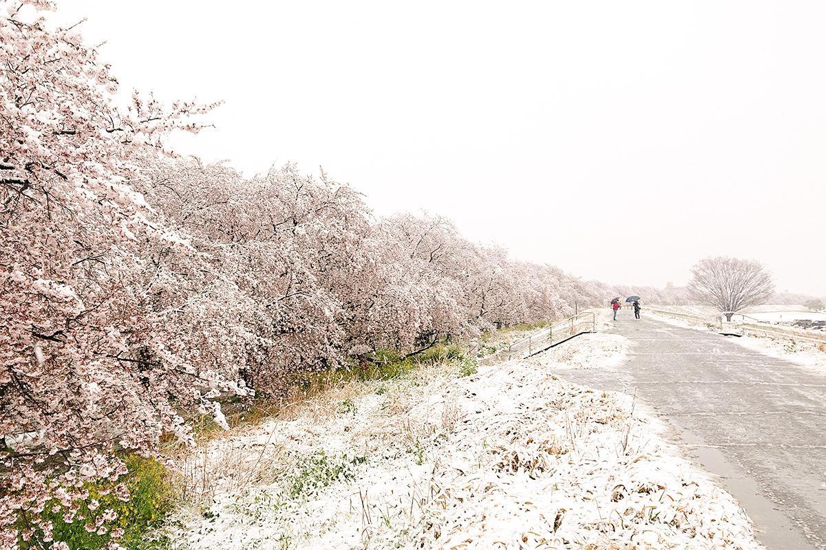 雪化粧した熊谷桜堤(3月29日撮影)