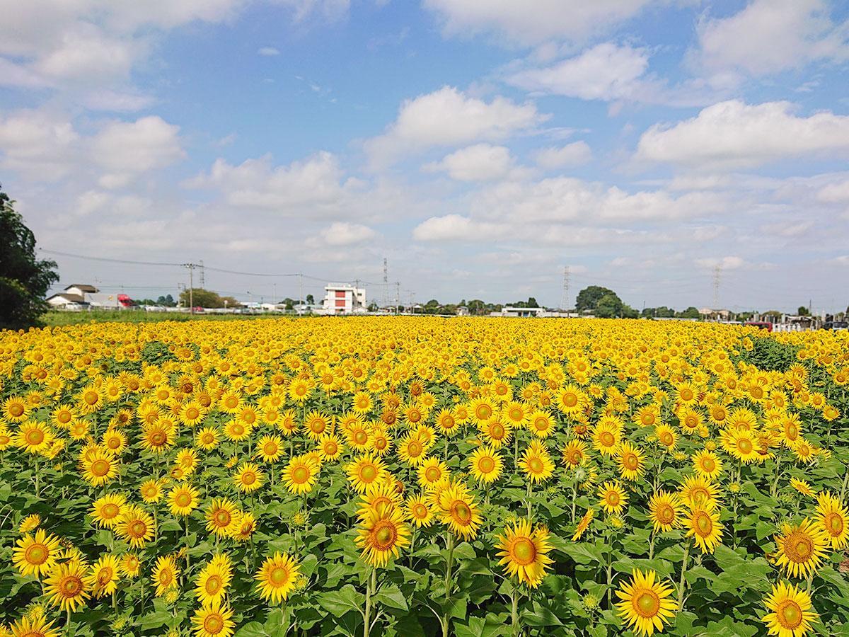 3万5000平方メートルの敷地に点在するヒマワリ畑は11カ所。満開の見頃を迎えている畑には約5万本のヒマワリが咲く(9月8日撮影)