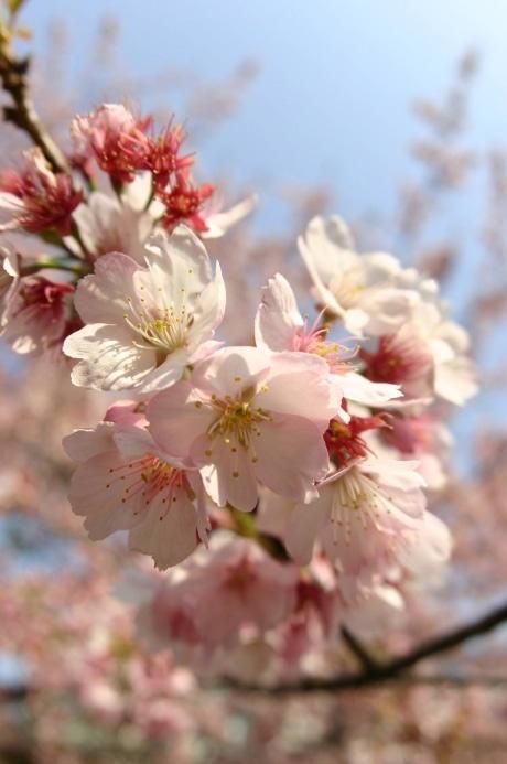 開花が待ち遠しい桜
