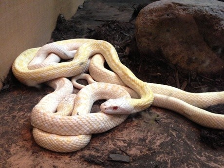 国の天然記念物「岩国のシロヘビ」