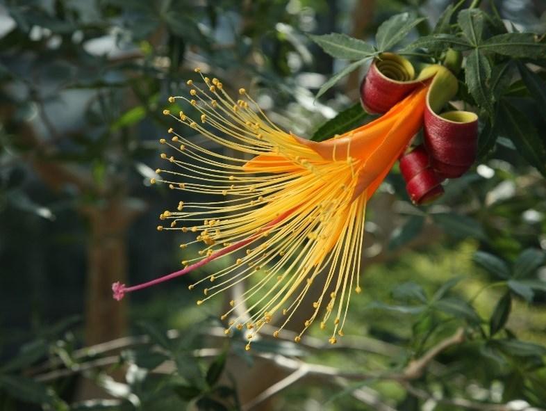 フニーバオバブの花