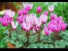 大阪・咲くやこの花館でクリスマスローズや原種シクラメンなど3千株展示販売