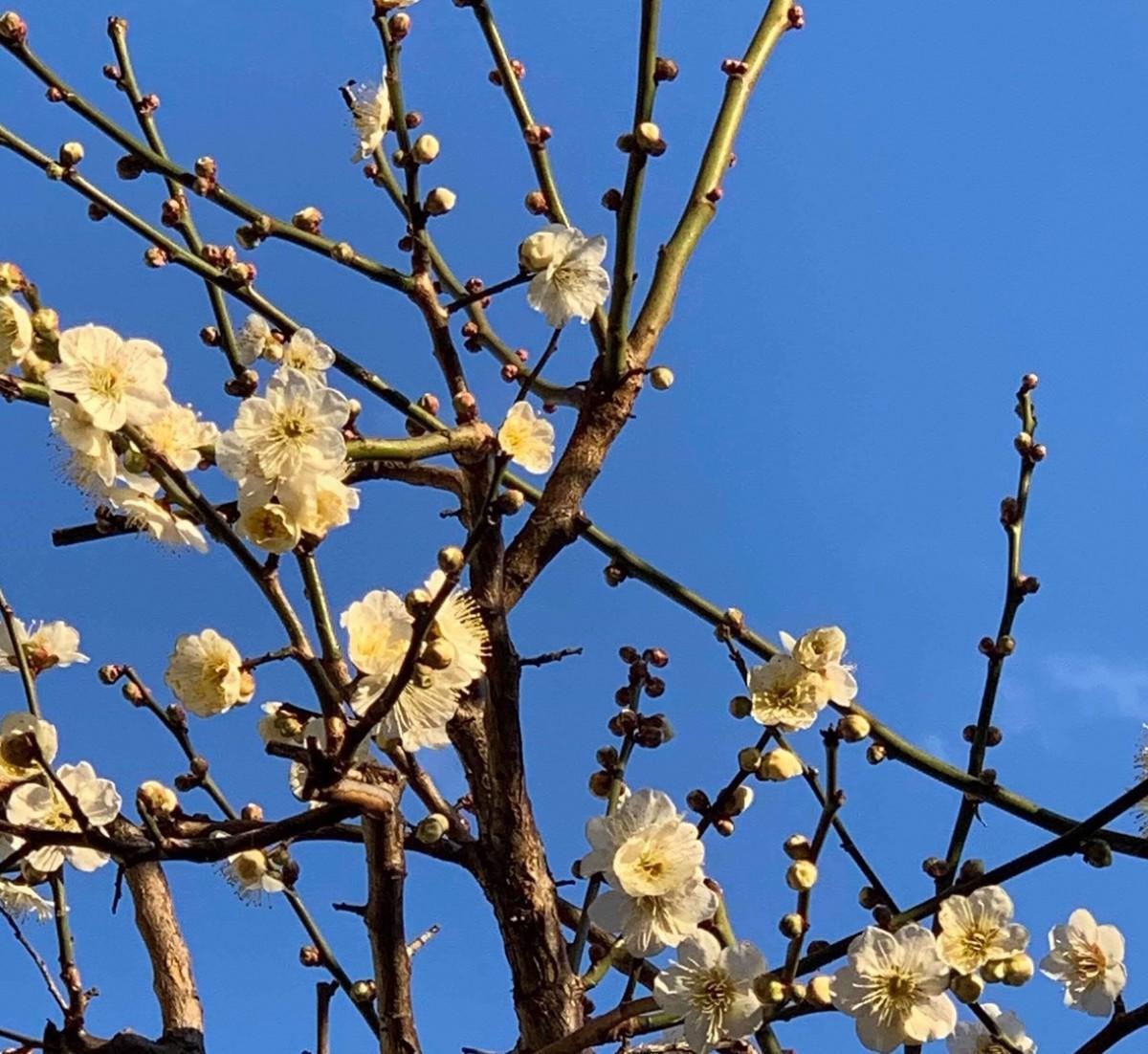 「経堂アトリエ」1階「plum cafe」の庭に咲く梅の花