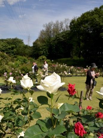 白い花をつけるプライマリーポエム(5月17日撮影)