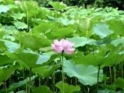 薬師池公園の大賀ハスが見頃に、花の数は少なめ