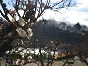 この冬一番の冷え込みも 町田・薬師池公園で白梅開花