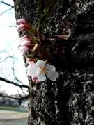 町田でソメイヨシノ開花 来週末からサクラ祭りも
