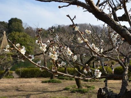 薬師池公園の梅が見頃に 撮影や花見散策する人も