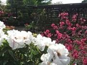 町田ぼたん園が開園 「花摘み娘コスプレ」初実施も