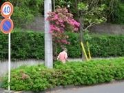 「ど根性ツツジ」大満開 高さ3メートルに成長