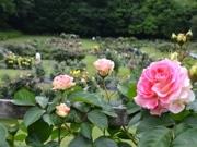 町田・野津田公園「ばら広場」色鮮やかに 祭り初開催も