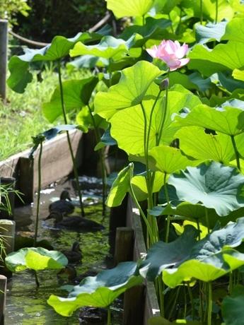 薬師池公園の大賀ハス。水路にはカルガモの親子。(2017年7月12日撮影)