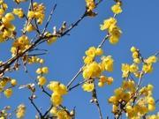 町田・忠生公園の「ロウバイ」見頃に 園内に甘い香り