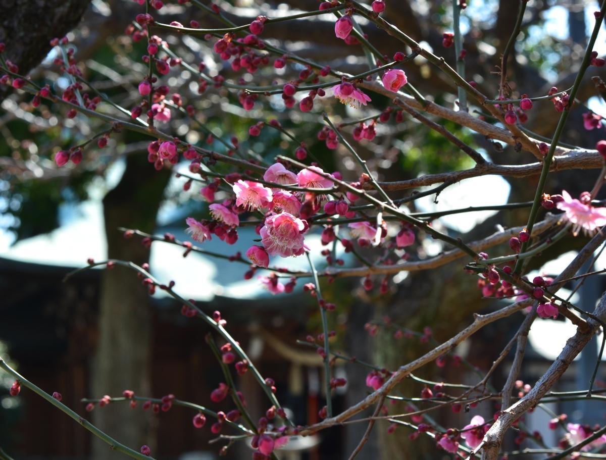 町田天満宮の梅