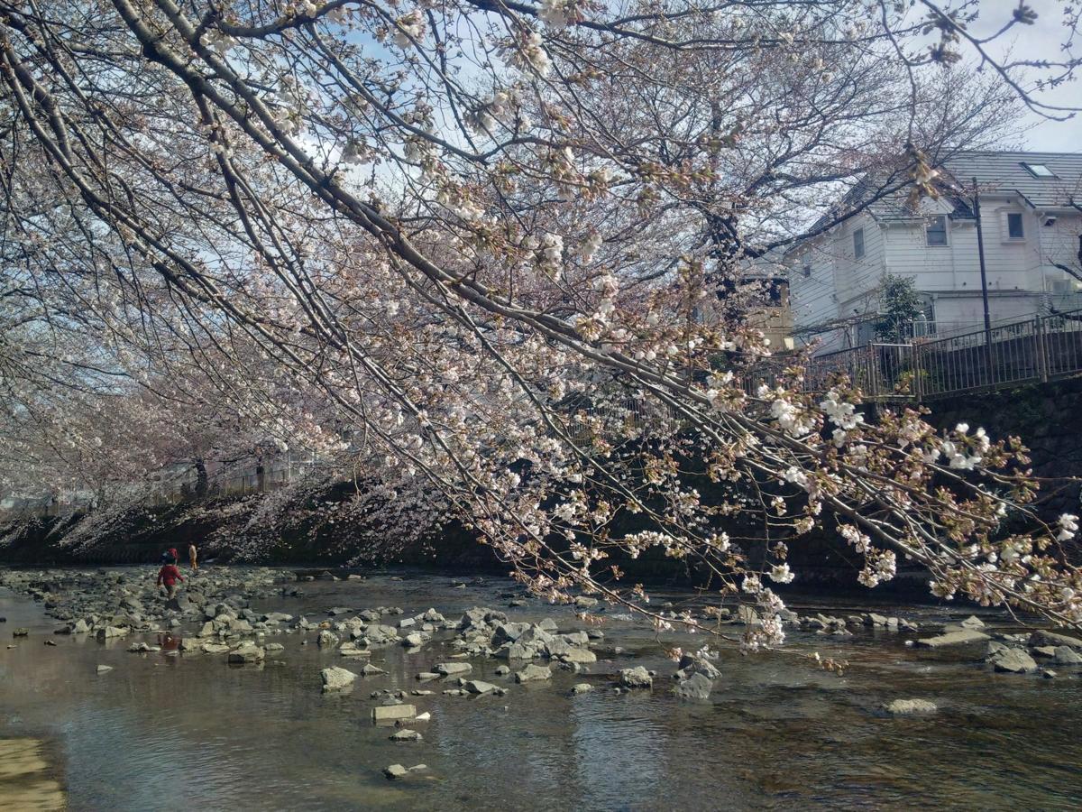恩田川・高瀬橋付近のサクラ(2018年3月24日撮影)