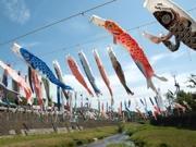 「鯉のぼりの川渡し」町田・鶴見川に200匹のコイ