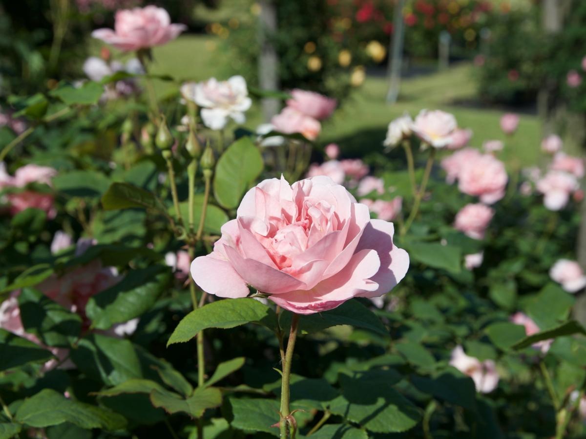 野津田公園のバラが見頃に(2018年5月14日撮影)
