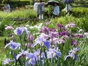 梅雨入り直前、薬師池「花ショウブ」早くも見頃に