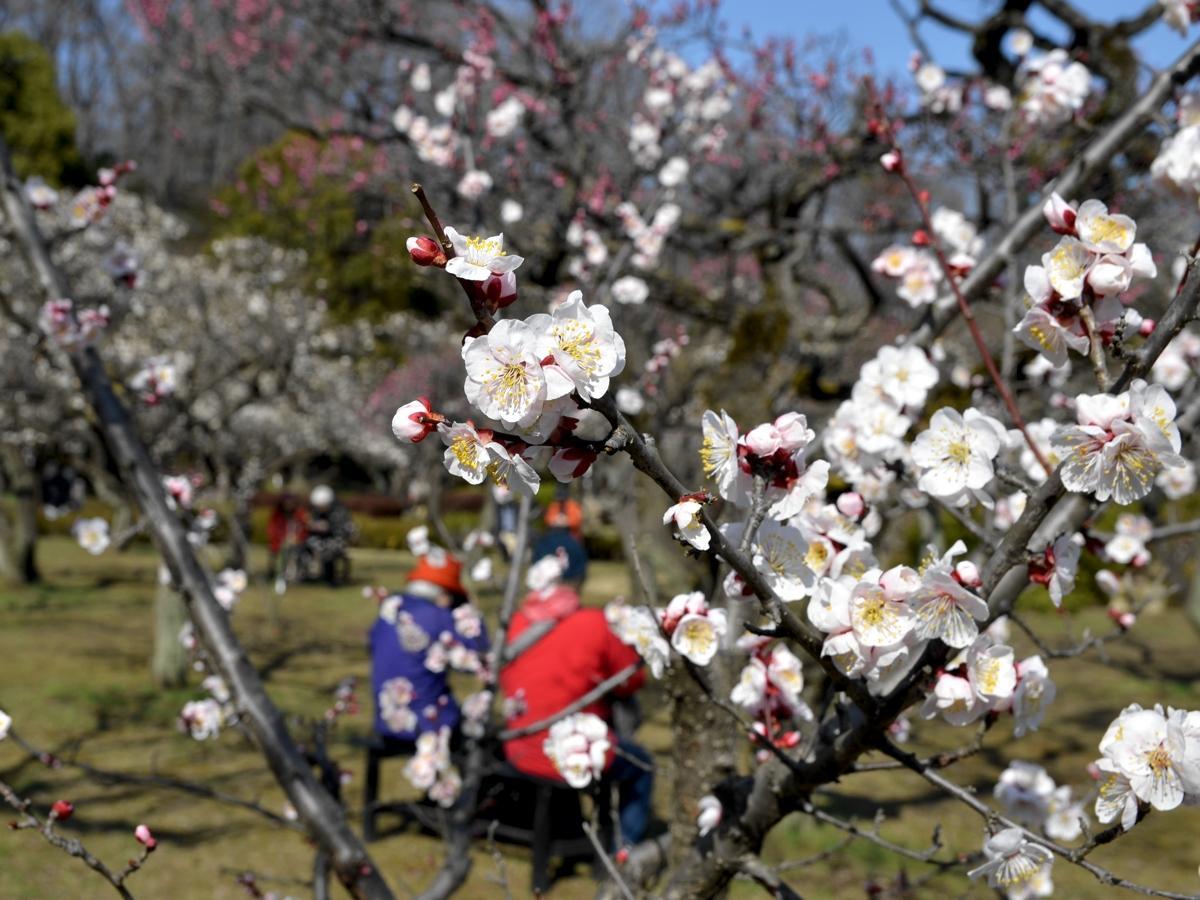 薬師池公園の梅(2019年3月5日撮影)