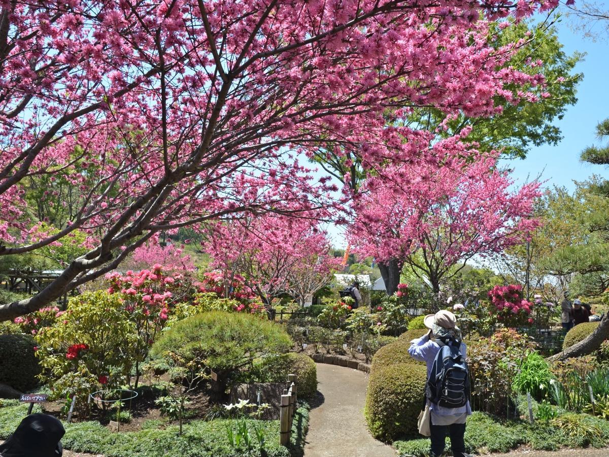 町田ぼたん園(2019年4月16日撮影)